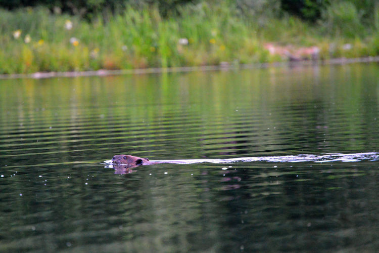 Alberta Animal Beaver Canada Chickakoo Lake Lake Nature No People Outdoors Reflection Reflection Rippled Scenics Selective Focus Swim Swimming Tranquility Water Water Surface Wild
