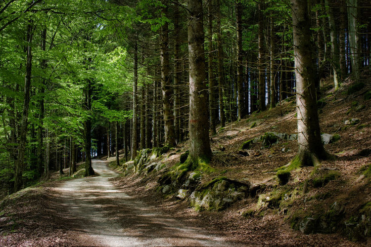 country road in a beech forest Green Nature Tree Trees Wood WoodLand Beech Beech Forest Beech Wood Forest Mountain Trees