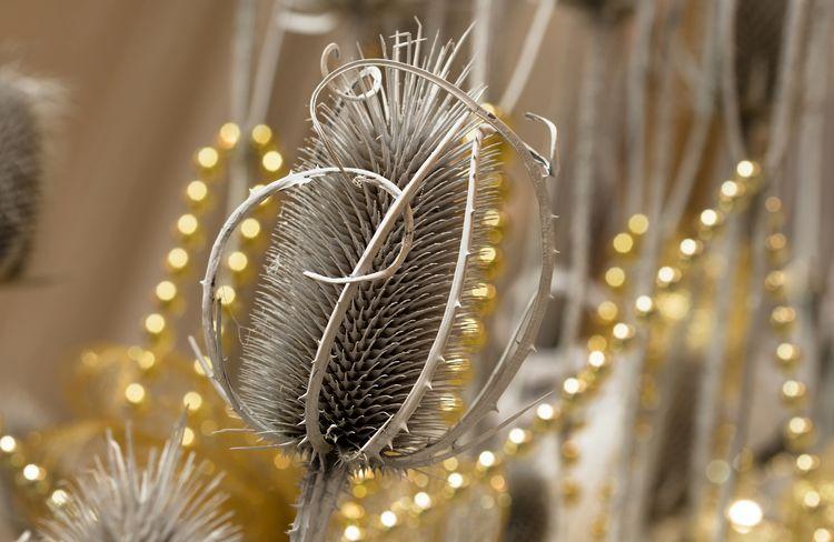 Cardo Carduus Close-up Fragility Friuli Venezia Giulia Gorizia Indoors  Natale  Plant