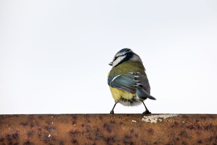 Rear view of great tit perching on rusty metal against clear white sky