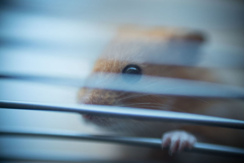 Animal Themes Cage Close-up Day Domestic Animals Hamster Indoors  Mammal No People One Animal Pets Selective Focus Syrian Hamster