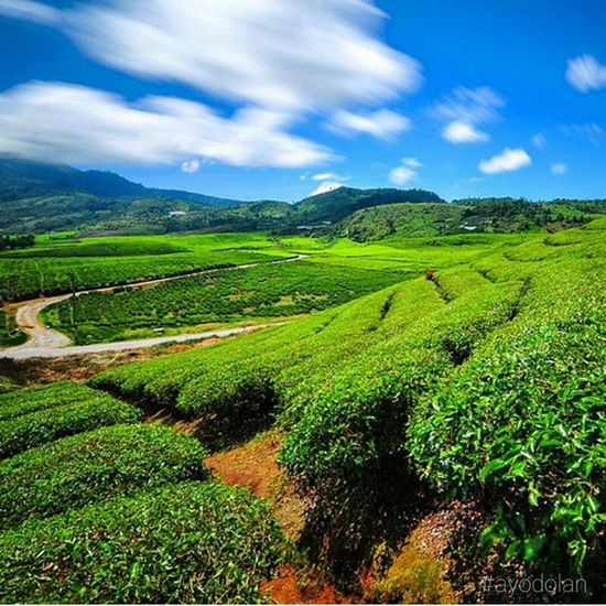 Kebun Teh Alahan Panjang - Solok Sumatrabarat INDONESIA Ayodolan