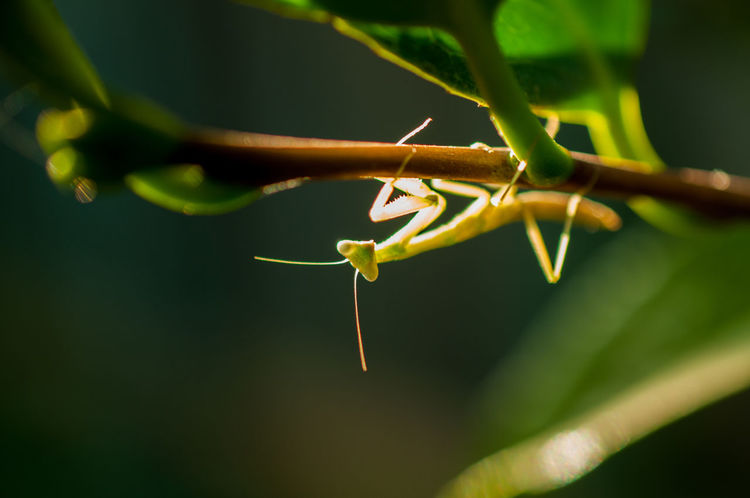 Praying mantis glowing in the sunlight upside down Green Green Color Mother Nature Nature Plant Wildlife & Nature Wildlife Photography Animal Themes Animal Wildlife Animals In The Wild Antenna Bug Photography Bugs Claw Close-up Critters Insect Mantis Nature No People One Animal Outdoors Praying Mantis Wilderness Wildlife
