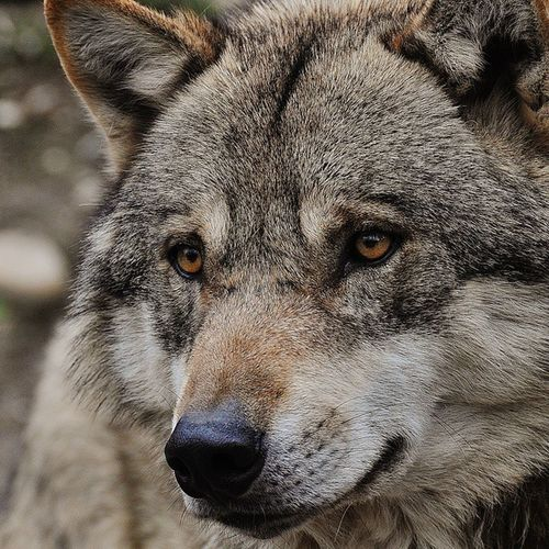 Managed to take a close up shot of this majestic animal while I was at the Alpen Zoo in Innsbruck. This is my first time seeing a wolf and it was so awesome 😊. Iloveanimals Animal Wildlife Wolf Alpenzoo Innsbruck Tyrol Austria Wildlifephotography Photography Closeup BestWildlife