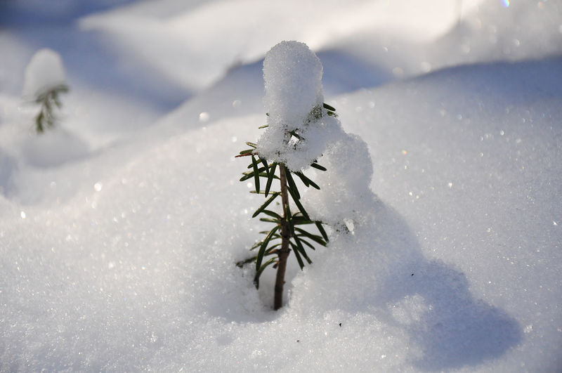 Low Angle View Winter Beauty In Nature Christmas Close-up Cold Temperature Fir Seedling No People Outdoors Snow Snow Covered Snowflake Tiny Tree Weather