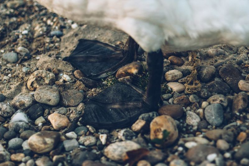 Close-Up Of Swan On Pebbles