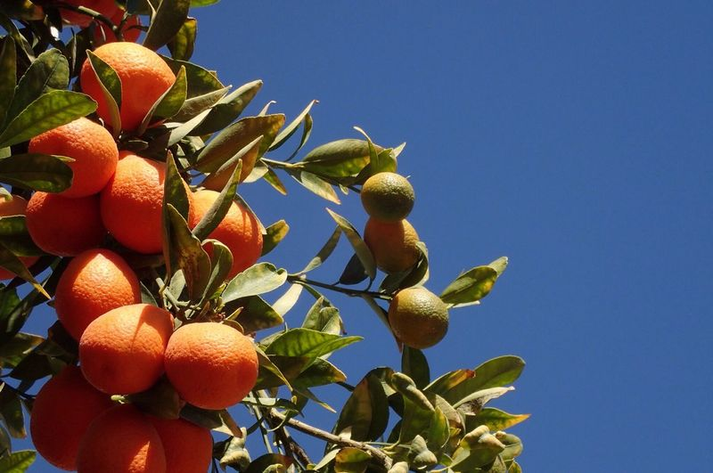 Close-up of orange growing on tree against clear blue sky