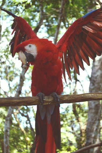 Bird Photography Outside Guatemala EyeEmNewHere Nikon D3200 Nature Scarlet Macaw Ara Macao Birding Birdwatching Birdlover Guacamaya Red Blue Yellow Wings Beuty