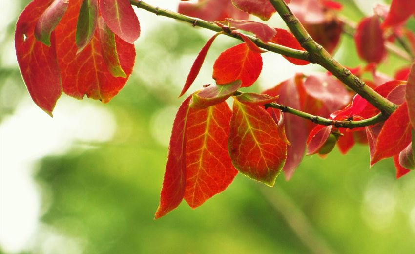 No People Outdoors Plant Red Leaf Close-up Growth Tree Branch Nature