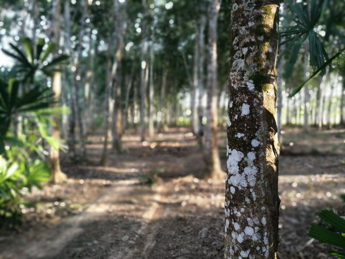 Tree Trunk Nature No People Outdoors Beauty In Nature Rubber Tree