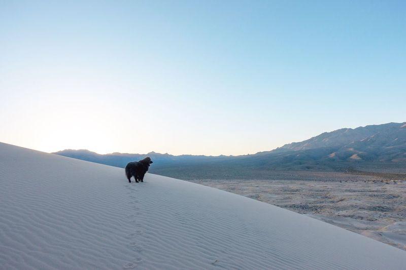 Dog on mountain against clear sky
