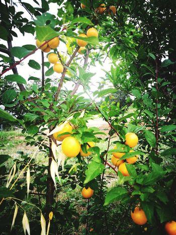 Branch Leaf Citrus Fruit Orange Tree Ripe Growing Lemon Tree Close-up Juicy