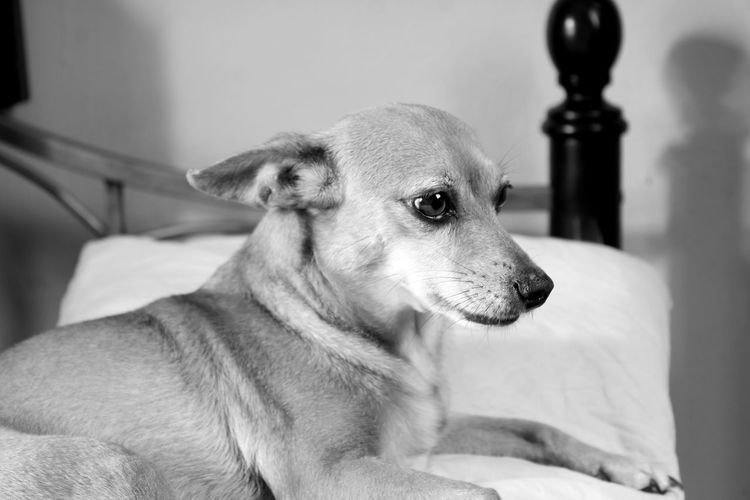Close-up of chihuahua dog sitting on bed