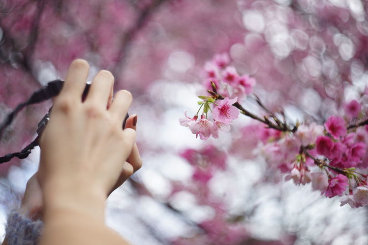 Beauty In Nature Blossom Body Part Cherry Blossom Cherry Tree Close-up Finger Flower Flower Head Flowering Plant Fragility Freshness Growth Hand Human Body Part Human Hand Nature One Person Outdoors Pink Color Plant Real People Springtime Tree Vulnerability