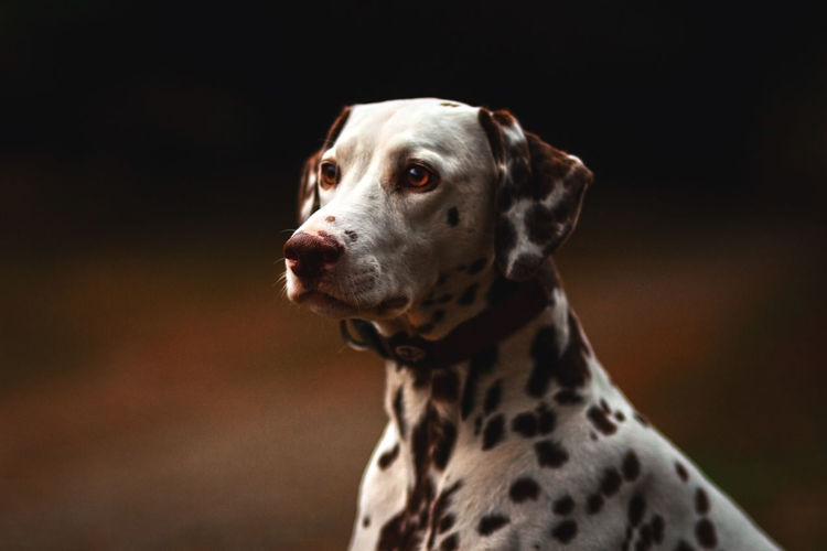 Animal Themes Black Background Close-up Dalmatian Dog Day Dog Domestic Animals Looking Away Mammal No People One Animal Outdoors Pets Spotted