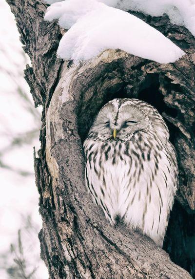 Ural Owl,