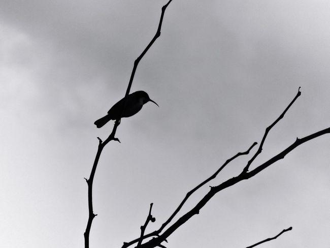 Blackandwhite Photography Bird Photography Bare Tree Winter Conder Canberra