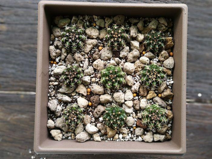 Cactus in a