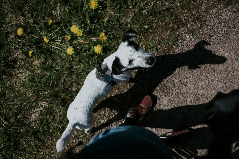 Black Ears Curious Dandelion Dog Grass Heel High Angle View Human Body Part Jack Russell Leisure Activity Mammal One Animal Personal Perspective Pets Real People Say Hi Shadow Shadowplay Sneaker Staring Strolling Strong Shadow Sunlight Thug Tiny