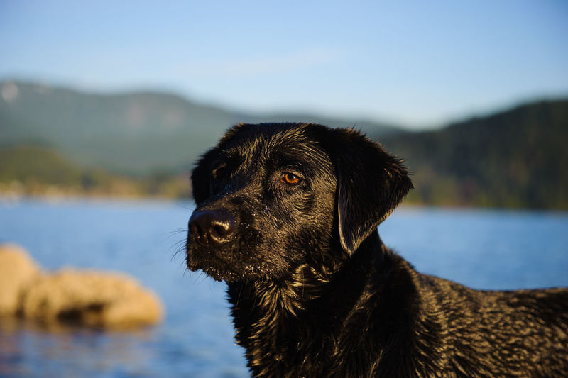 Black labrador by river against sky on sunny day