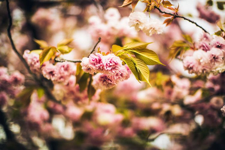 Cherryblossom Flower Nature Photography Pink Spring