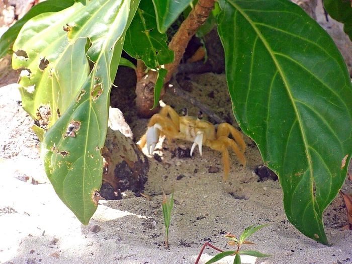 Beauty In Nature Crab Cute Day Green Color Leaf Nature Nice Plant Sand Sea Yello Colour