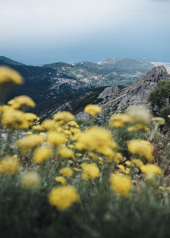 The view from the highest point on the island of Elba - the Monte Capanne (1,019 metres (3,343 ft)). Location: Elba, Italy. Equipment: Fujifilm X-T2 + XF18-135. EyeEm Nature Lover Beauty In Nature Day Elba Environment Flower Flowering Plant Growth Italy Land Landscape Monte Capanne Elba Mountain Mountain Range Nature No People Non-urban Scene Outdoors Plant Scenics - Nature Selective Focus Sky Tranquil Scene Tranquility Yellow The Traveler - 2018 EyeEm Awards The Great Outdoors - 2018 EyeEm Awards
