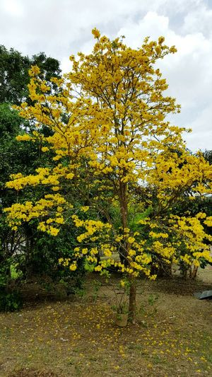 Tree No People Yellow Growth Nature Outdoors Sky Day Beauty In Nature Pouitrees Poui Tree Poui Backyard Photography Outdoors Photograpghy  Picturesque Bright Colours Trinidad Trinidad's Photography Trinidadandtobago