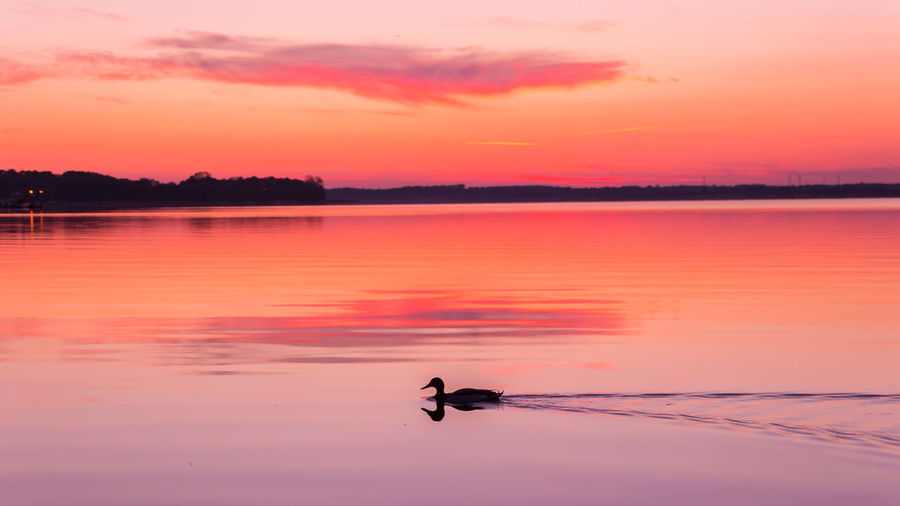 Duck swimming on lake during sunset