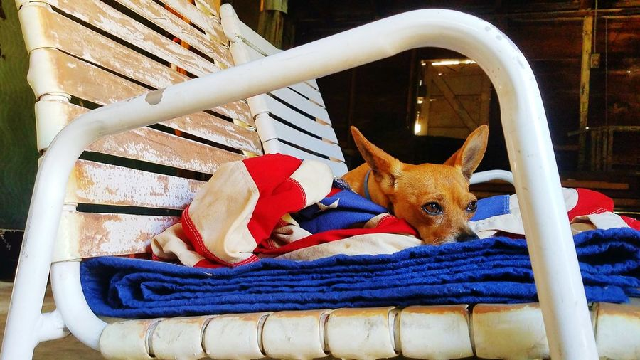 The best Dog in the world Chihuahualovers EyeEm Selects Patriotic Spirit Pets
