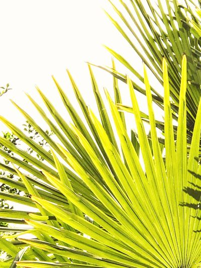 Palm Leaf Palm Tree Frond Growth Nature Green Color Leaf Close-up Sunlight Clear Sky No People Day Outdoors Plant Summer Tree Sky Freshness Beauty In Nature Fanned Out Contast Modern Pattern Textured  Sommergefühle
