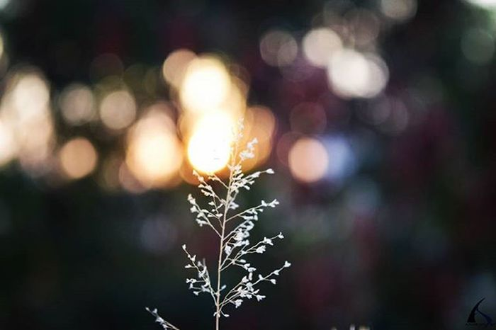 Only one person stands under the spotlight, rest everything is just the fall of the curtain. Sunset Bokeh Bokehful Sunsets Fall Background Nature Naturephotography Lights Bokehlicious Macro Macrophotography Lighting Plants PicturePerfect Pictureoftheday Instalike Naturehippys NatureTherapy Natureporn Sunset_pics Evening Perfectday Composition Circle vscocamvscogoodshot igers igdaily