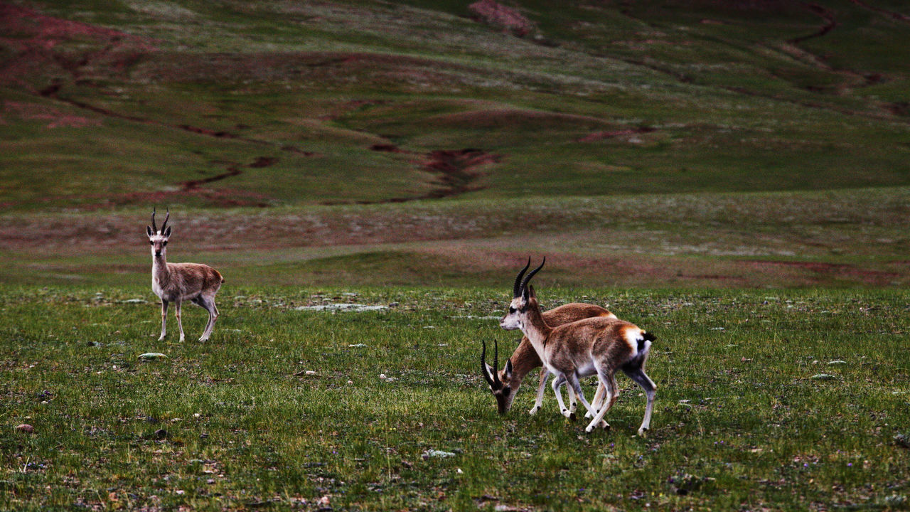 animal, animal themes, land, mammal, group of animals, animal wildlife, field, animals in the wild, plant, grass, nature, domestic animals, vertebrate, deer, no people, day, environment, two animals, landscape, herbivorous