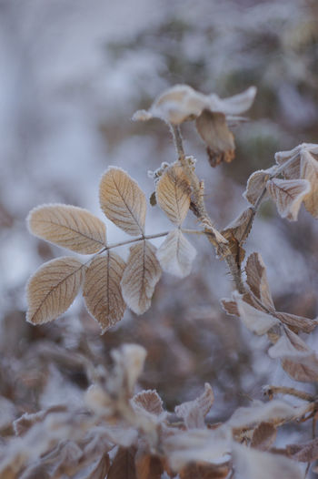 Winter Day No People Beauty In Nature Leaf Plant Part Wilted Plant Nature Selective Focus Fragility Leaves Plant Focus On Foreground