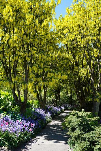 2016 Beauty In Nature Canal Flower Garden Golden Chain Tree Growth Laburnum Nature Park Sun Tree Vancouver VanDusen Botanical Garden Yellow カナダ キバナフジ バンクーバー バンデューセン植物園 Spring