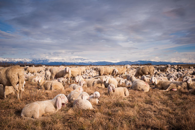 Flock Of Sheep On Field Against Cloudy Sky