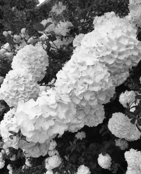 Snowballs in spring.St the Chamblee MARTA station, Atlanta Georgia Black & White Blackandwhite Photography Hydrangea MyCommute