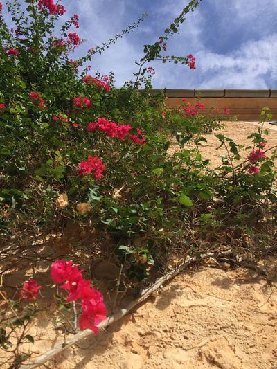 Mallorca Mallorcaphotographer Baleares Mediterran Summer Summer Beauty In Nature Flower Nature