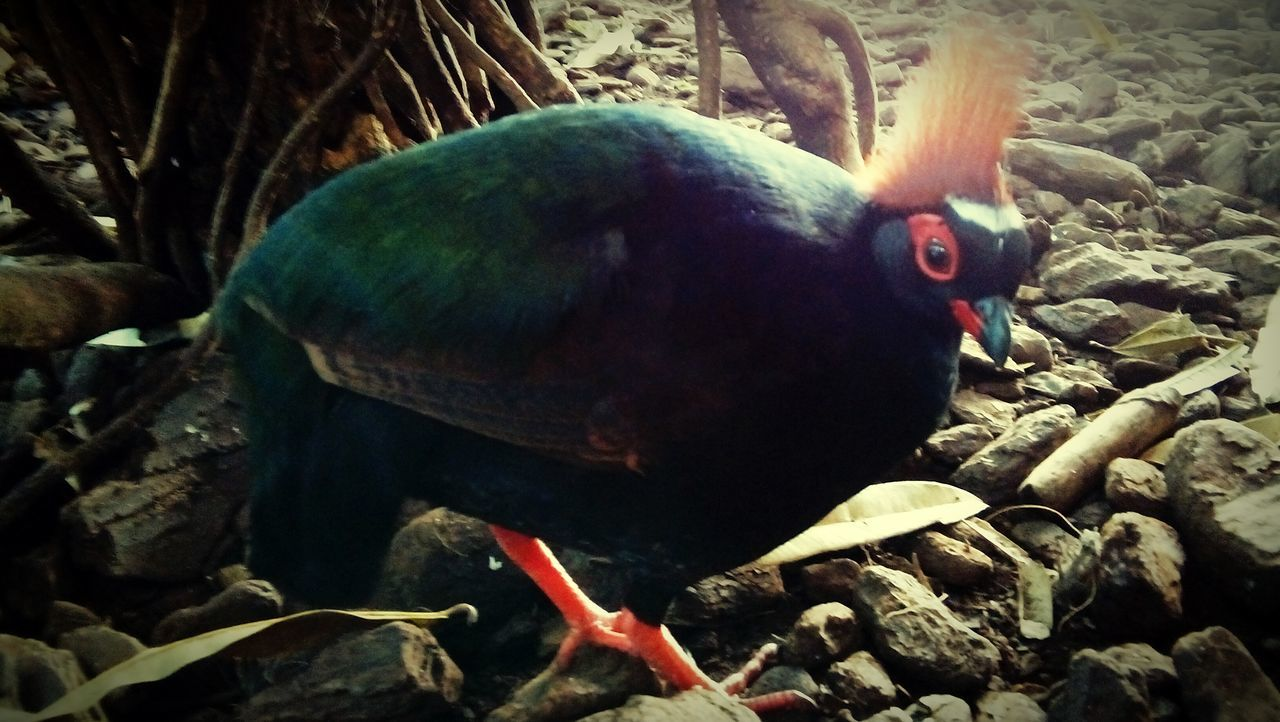 animal themes, one animal, bird, animals in the wild, no people, animal wildlife, nature, day, outdoors, perching, close-up