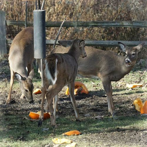 A little snack of pumpkin for three lucky whitetails... Nature Outdoors Animals In The Wild Mammal Animal Themes No People Autumn EyeEm Best Shots - Nature Showcase November EyeEm Best Shots Beauty In Nature Deer Moments St Clair Metro Park