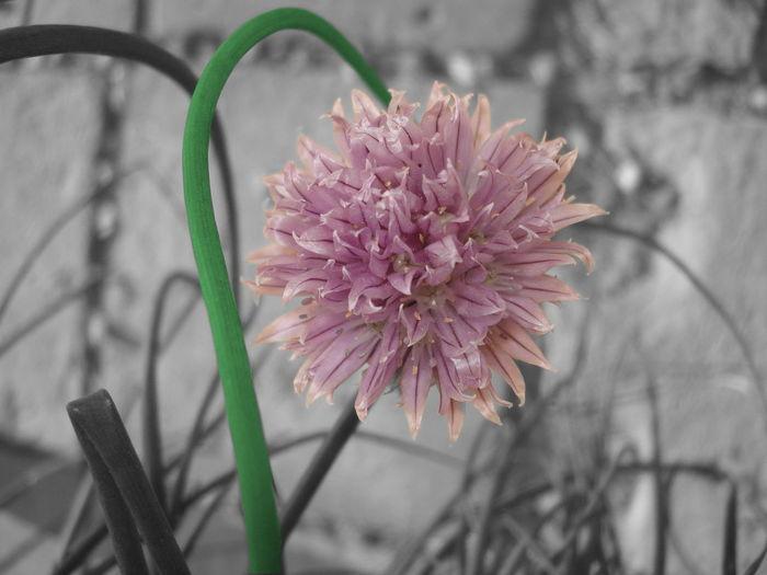 Chive Ciboulette Close-up Couleurs Partielles Fleur Flower Fond Monochrome Monochrome Background Nature Partial Color