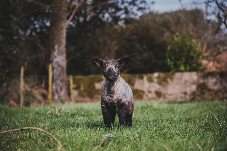 Mammal Plant Animal One Animal Animal Themes Grass Domestic Animals Portrait Land Tree Field Looking At Camera Nature Domestic Vertebrate Pets Day Focus On Foreground Sitting No People Single