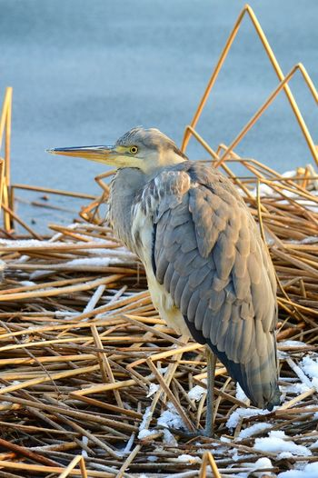 Squacco heron on dry grass during winter
