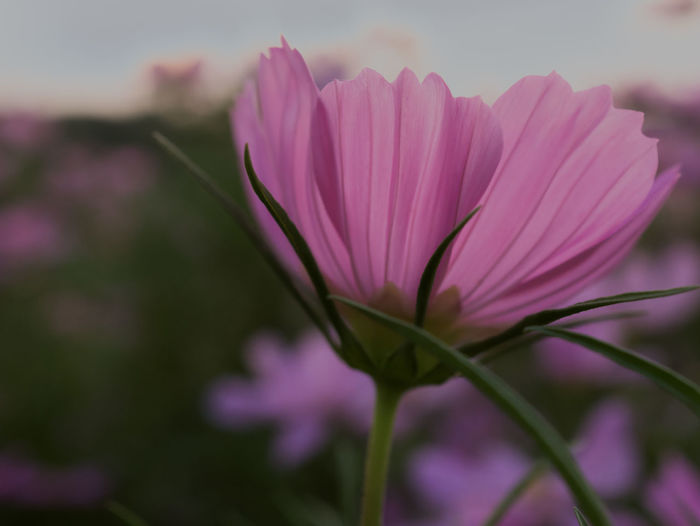 Beautiful cosmos flowers in garden for background. Selective and soft focus blurry. Background Blurred Bright Colorful Cosmos Flower Fresh Garden Nature Petal Pink Sky Sunrise Sunset Water Winter