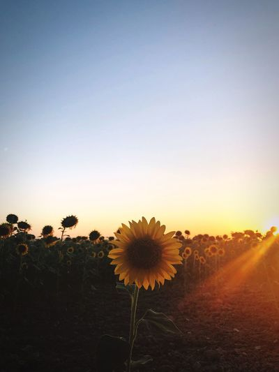 Scenic view of sunflower field against clear sky during sunset