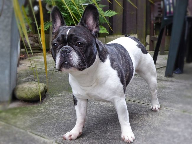 The love for all living creatures is the most noble attribute to man 💕Wally💕 French Bulldog Bulldog Domestic Animals Dog Pets Dogofeyeem Dog Photography Pet Photography  One Animal Animal Themes Animal Outdoors Mammal No People Day Photography