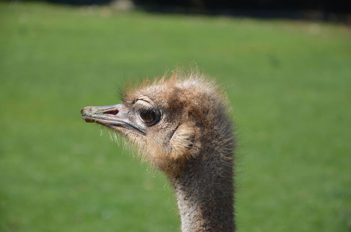 Animal Themes Animal Wildlife Animals In The Wild Beak Bird Close-up Day Grass Nature No People One Animal Ostrich Ostrich Head Outdoors