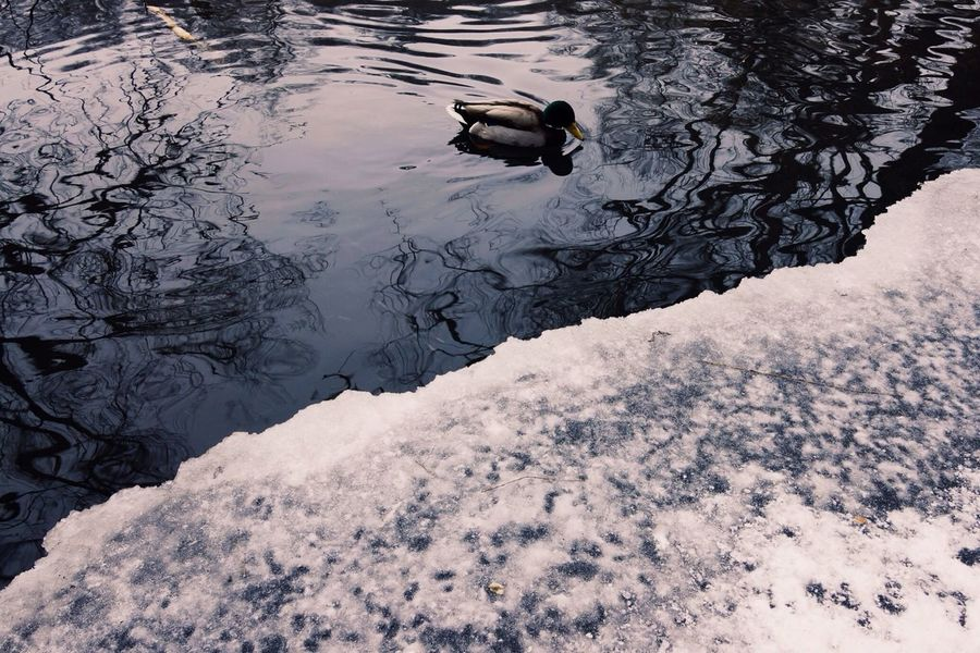Duck! Winter White By CanvasPop