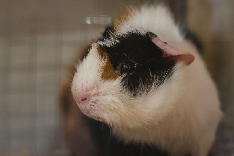Mammal Animal Themes Animal Pets Domestic One Animal Domestic Animals Rodent Vertebrate Close-up Focus On Foreground Indoors  Guinea Pig No People Animal Body Part Animal Wildlife Home Interior Looking Animal Head  Day Whisker