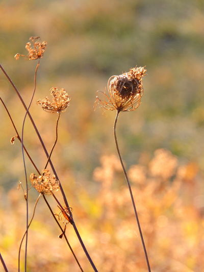 Queen Anne's Lace Beauty In Nature Close-up Day Dried Plant Dry Flower Flower Head Focus On Foreground Fragility Freshness Golden Hours Growth Nature No People Outdoors Plant Stem Sunlit Beauty
